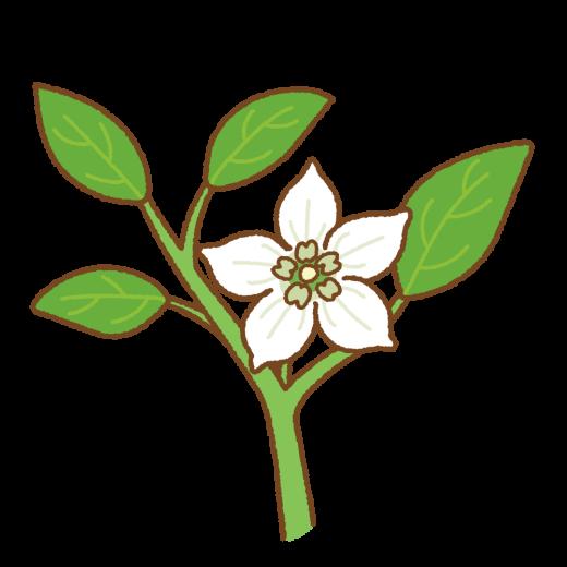 パプリカの花のイラスト
