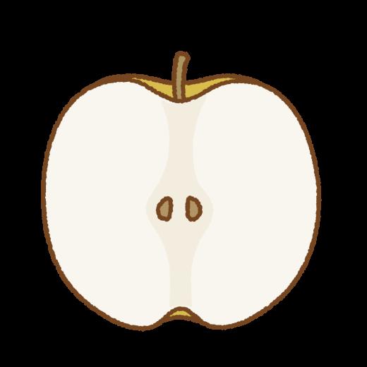 梨の断面のイラスト