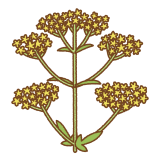 オミナエシのイラスト