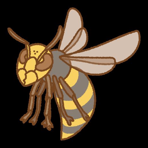 オオスズメバチのイラスト