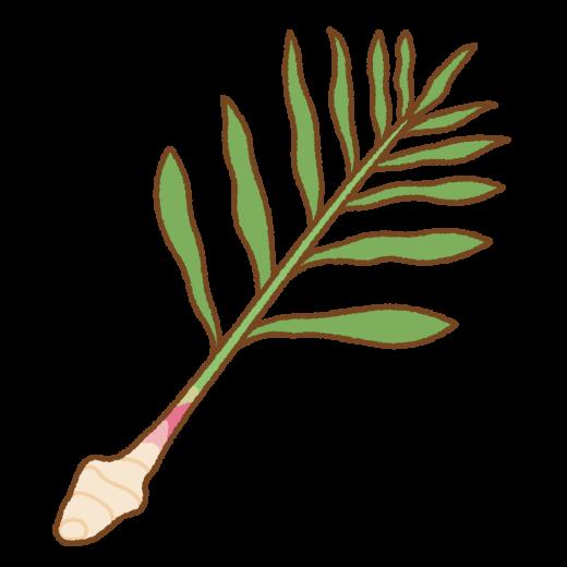 葉ショウガのイラスト